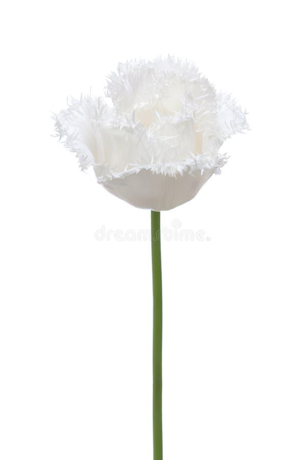 Vit tulpan som isoleras på vit bakgrund Satt fransar på tulpan fotografering för bildbyråer