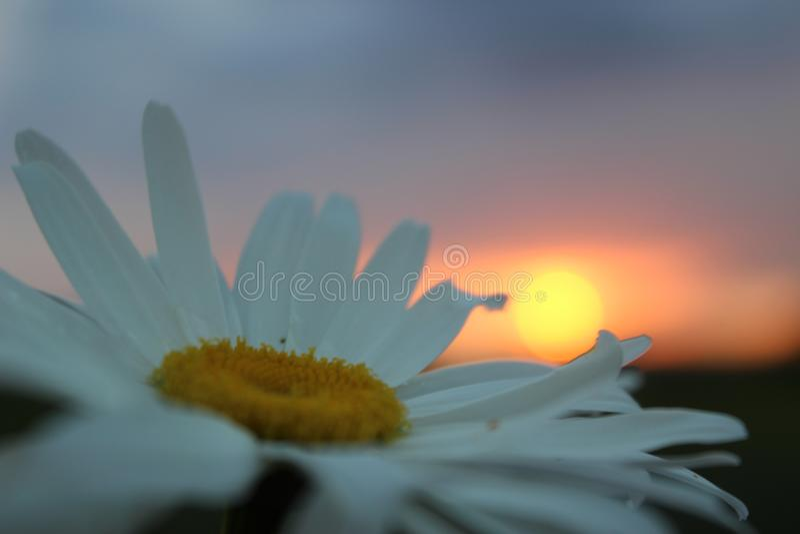 Vit tusensköna på solnedgångbakgrunden royaltyfria foton