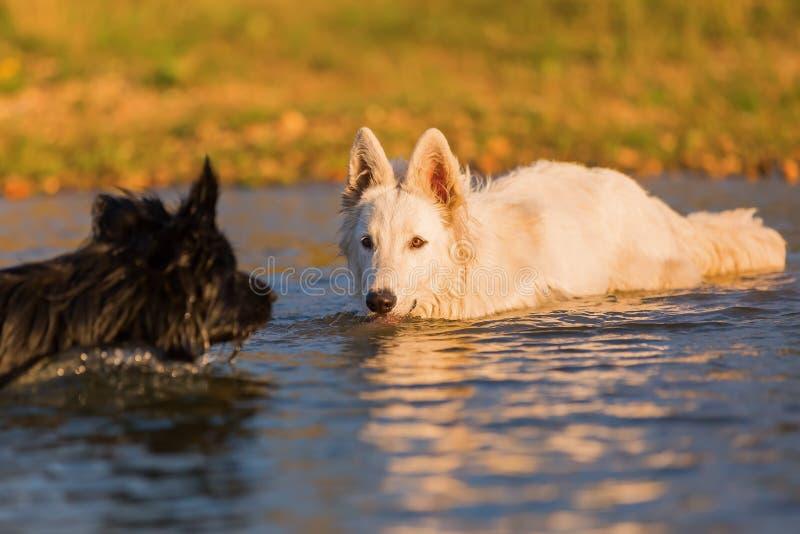 Vit tysk herde och en svart hund i vattnet royaltyfri bild