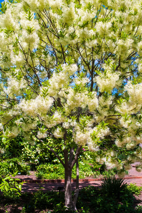 Vit ulliga blom hänger på filialerna av fransträdet royaltyfria foton