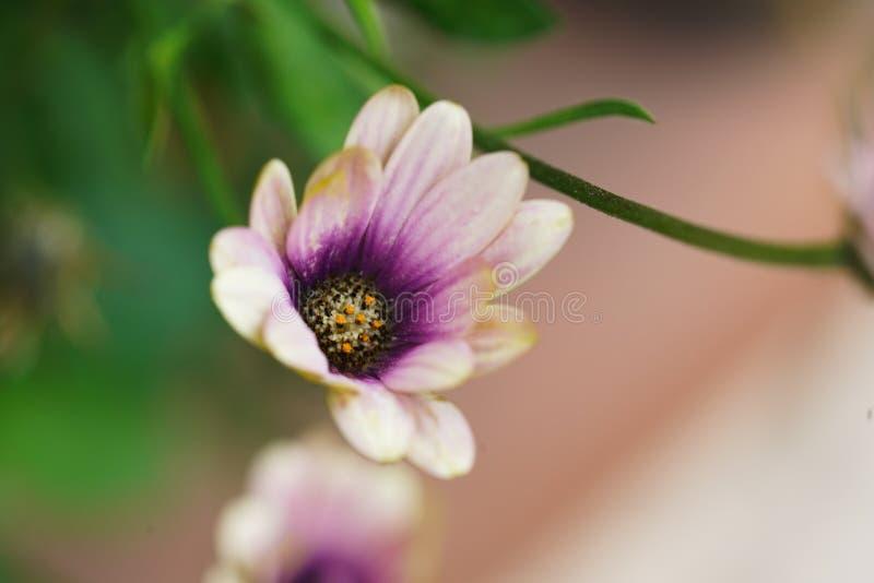 Vit utomhus- trädgårdvildblomma för lilor och arkivbild
