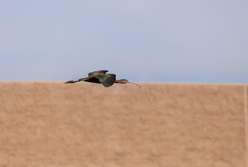 Vit vände mot ibits, den Plegadis chihien, flugor arkivfoton