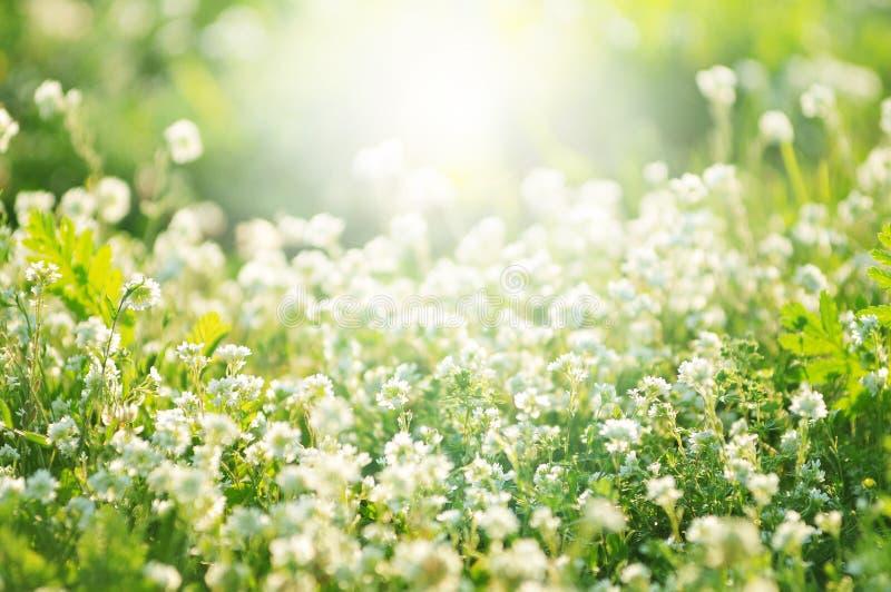 Vit växt av släktet Trifolium blommar i våren, grunt djup av fältet royaltyfria foton