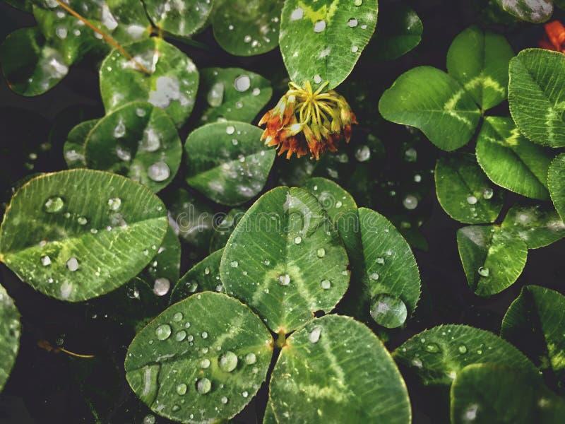 vit växt av släktet Trifolium, på sidorna av en vattendroppe efter regnet, sommar, bakgrundstextur royaltyfri bild
