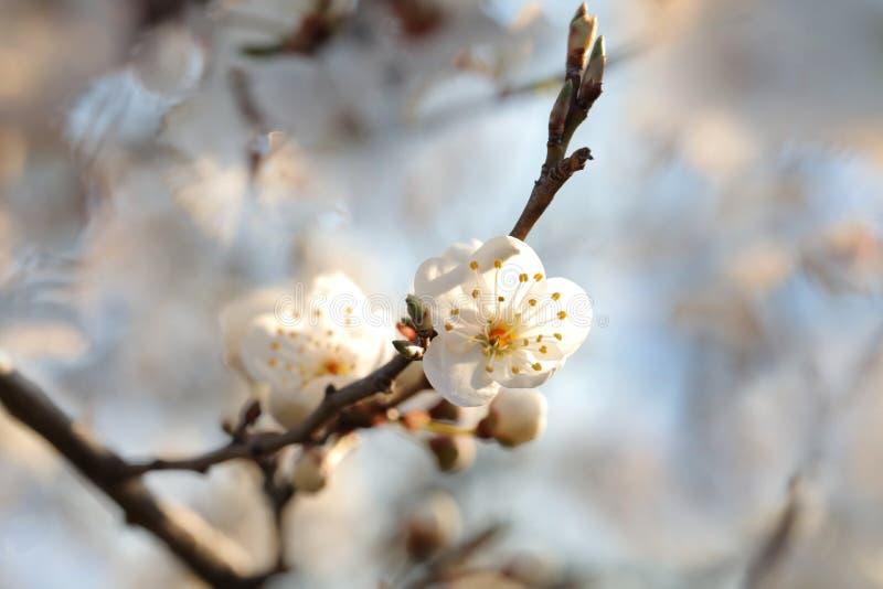 Vit v?rblomma som blommar p? ett tr?d arkivfoton