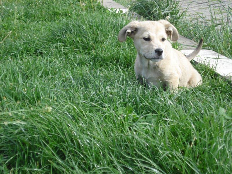 Vit valp i gräset arkivfoton