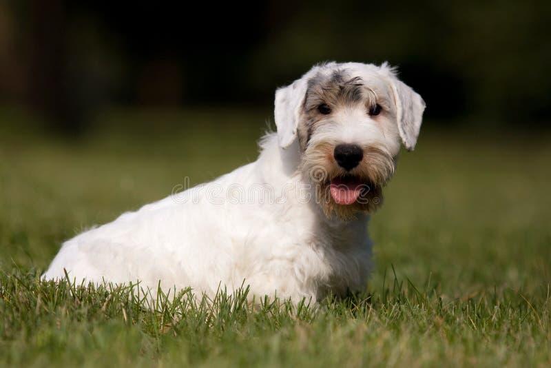 Vit valp västra höglands- Terrier i gräset fotografering för bildbyråer