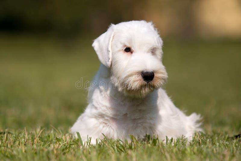Vit valp västra höglands- Terrier i gräset i solen arkivfoton