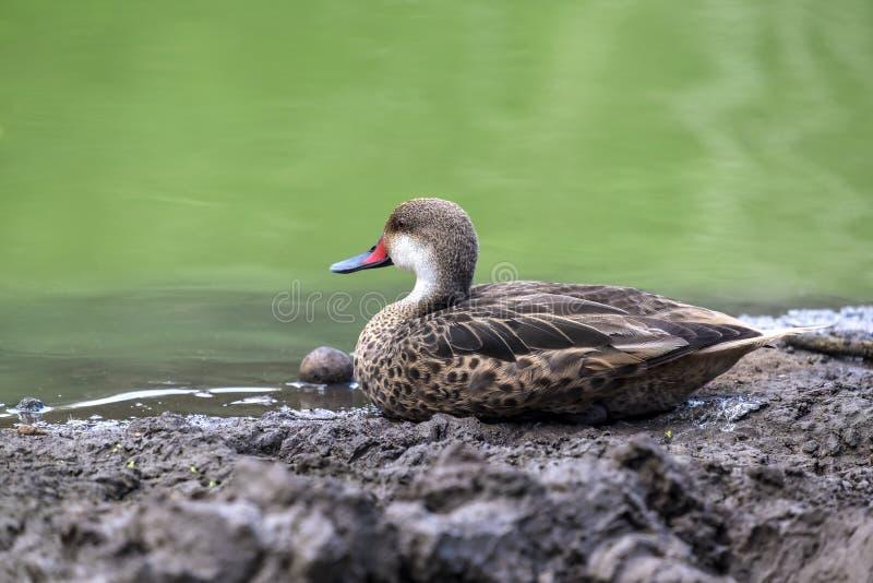 Vit-vara fräck mot Pintail Duck Sitting vid ett damm royaltyfri fotografi