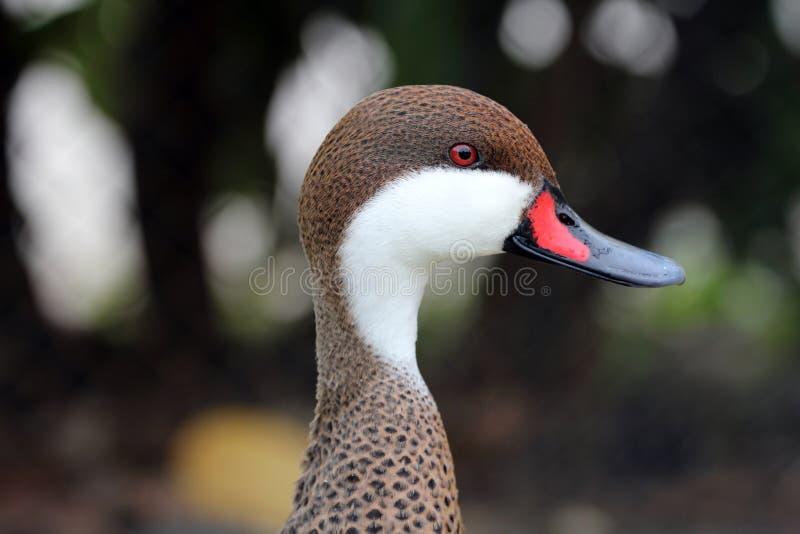 Vit vara fräck mot Pintailfågel, en and med den röda och svarta näbb, röda ögon, vita cheekes arkivbilder