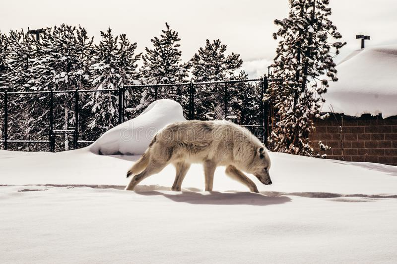 Vit varg i grisslybjörn & Wolf Discovery Center arkivfoto