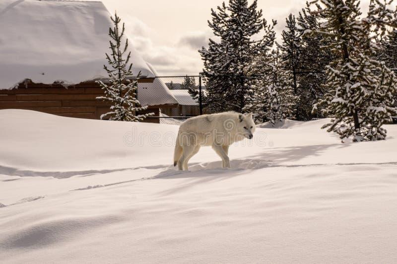 Vit varg i grisslybjörn & Wolf Discovery Center arkivfoton