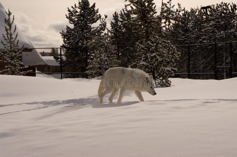 Vit varg i grisslybjörn & Wolf Discovery Center arkivbilder