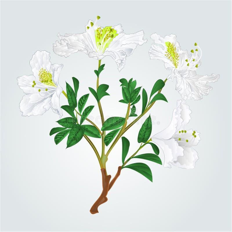 Vit vektor för rhododendronfilialtappning stock illustrationer