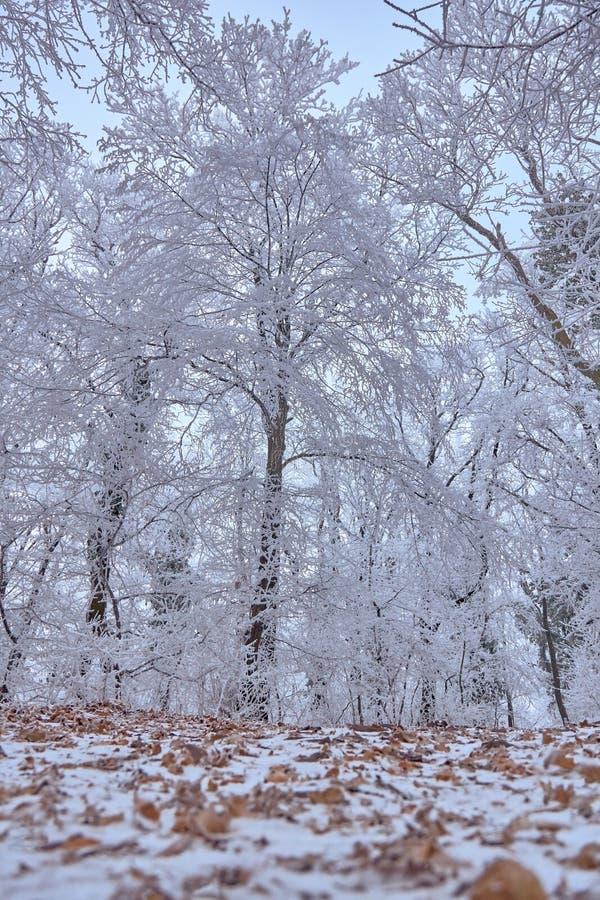 Vit vinterskog i en kall vinterdag fotografering för bildbyråer