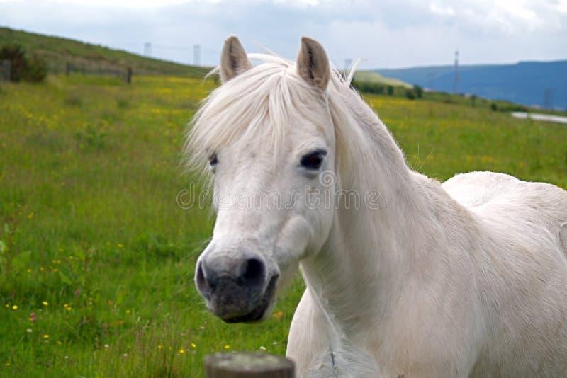 Vit walesisk ponny royaltyfria foton