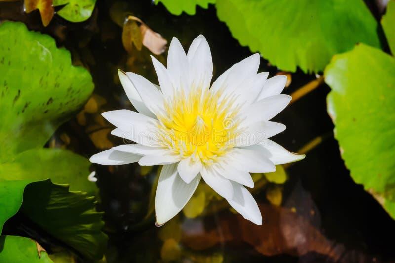 Vit waterlilly fotografering för bildbyråer