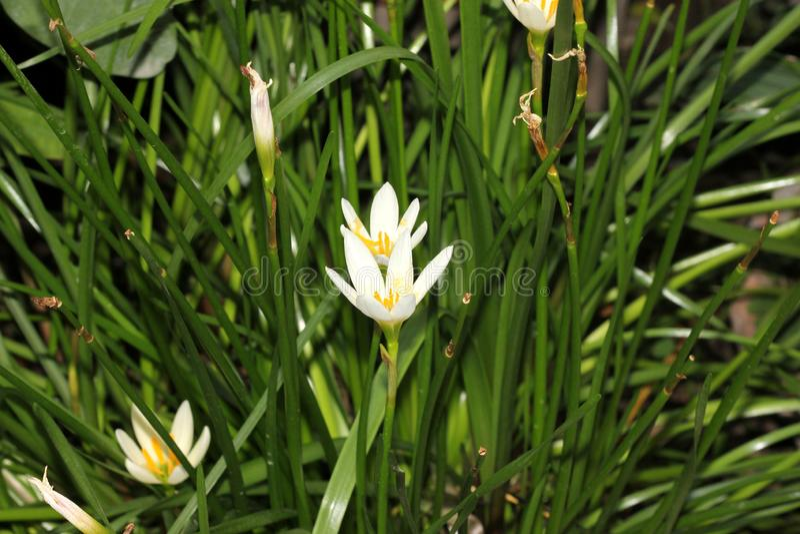 Vit windflower, peruansk träsklilja, Zephyranthes candida arkivfoton
