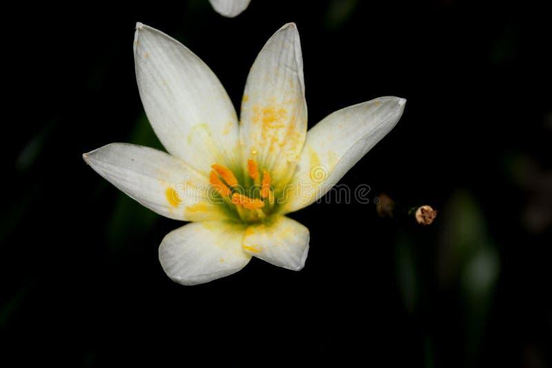 Vit windflower, peruansk träsklilja, Zephyranthes candida royaltyfri fotografi