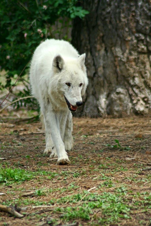 vit wolf royaltyfri bild