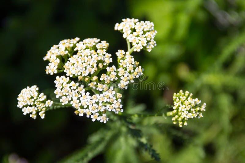 Download Vit YarrowblommaAchillea Millefolium Arkivfoto - Bild av läkarundersökning, växt: 106831638