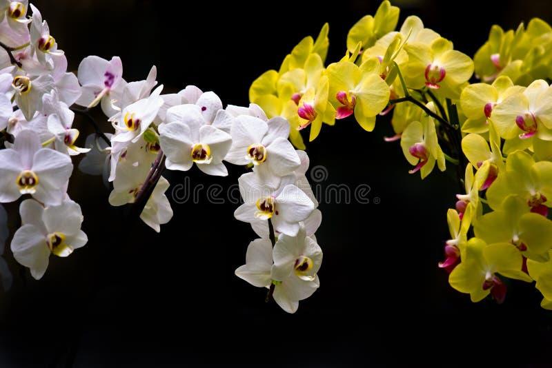 vit yellow för färgrika orchids royaltyfria bilder