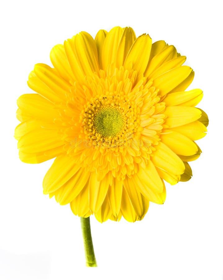 vit yellow för gerber royaltyfri fotografi