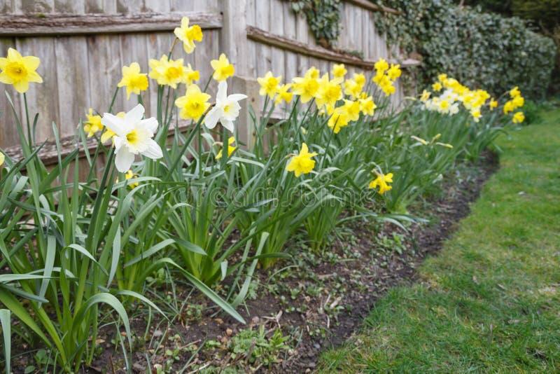 vit yellow för påskliljar fotografering för bildbyråer
