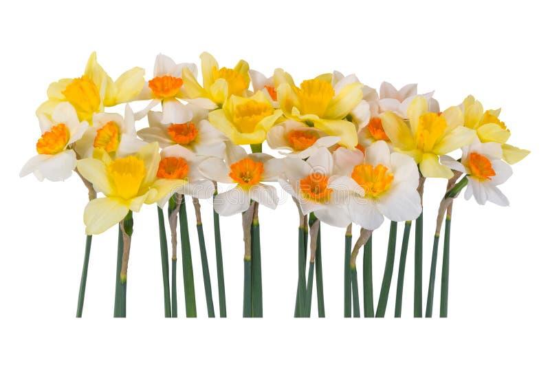 vit yellow för pingstlilja royaltyfri fotografi