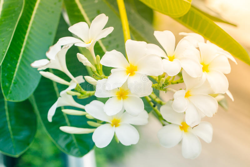 vit yellow för plumeria arkivfoton