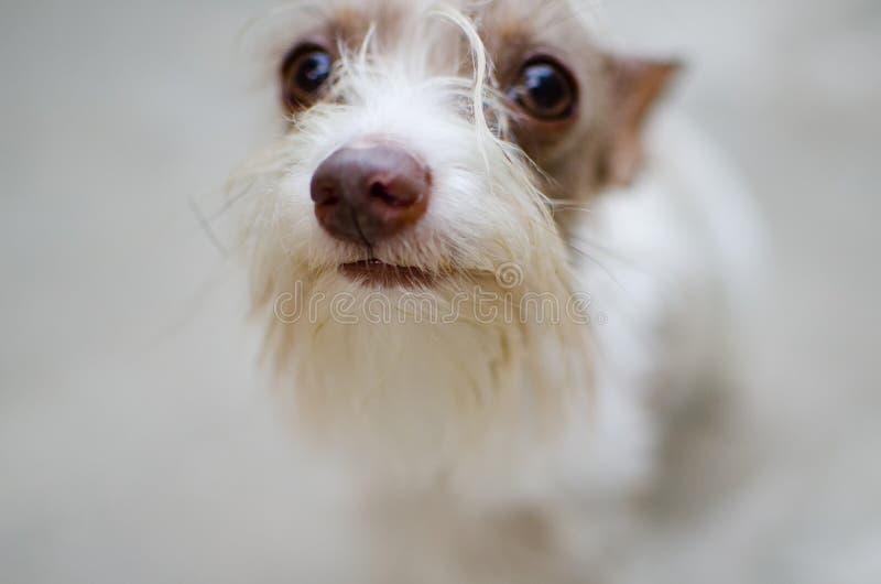 Vit yorkshire terrier p? en suddig bakgrund arkivbild