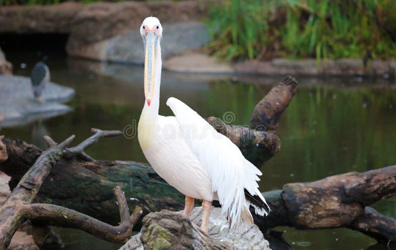Vita afrikanska pelikan som står över en journal på kusten som fiskar i kusten på bränning-kusten, medan jaga för mat royaltyfri fotografi