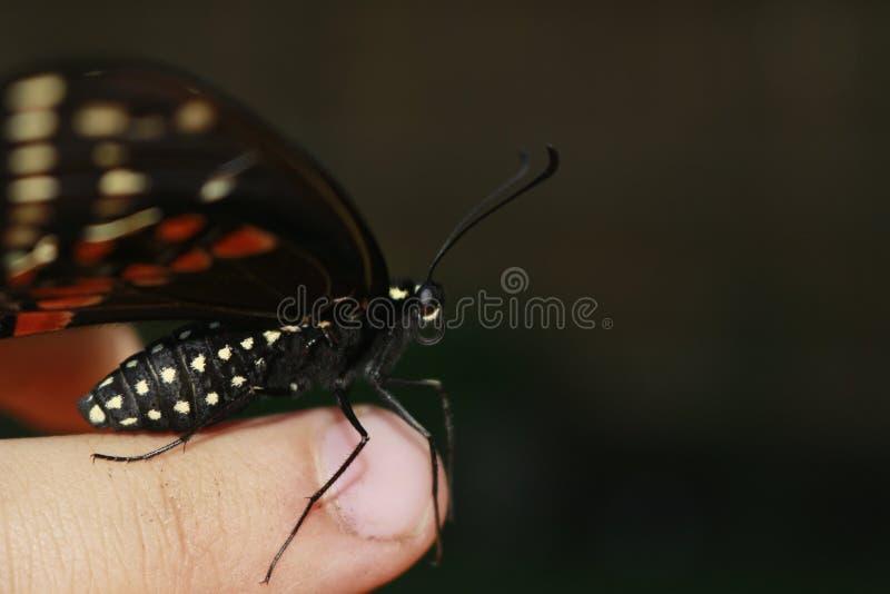 Vita alle vostre punte delle dita Anise Swallowtail Butterfly che riposa su un dito umano immagini stock libere da diritti