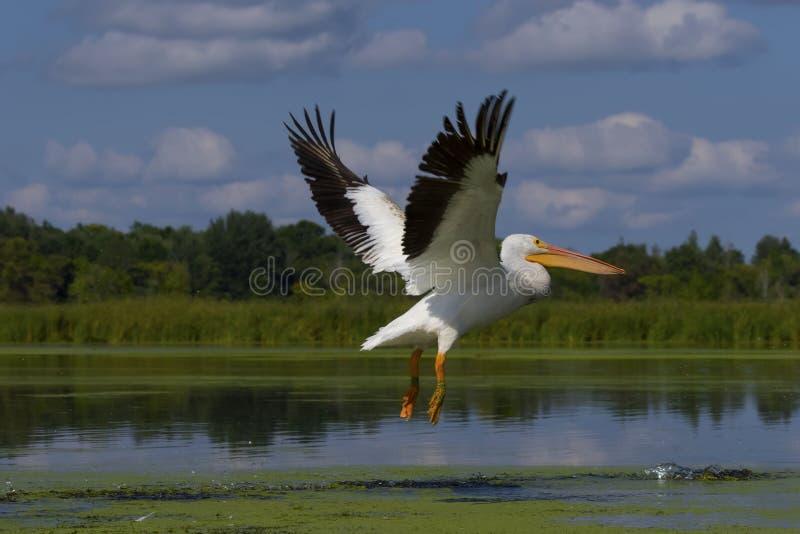 Vita amerikanska pelikanPelecanuserythrorhynchos arkivfoton