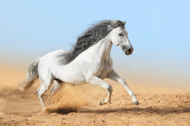 Vita Andalusian hästkörningar i damm arkivfoton