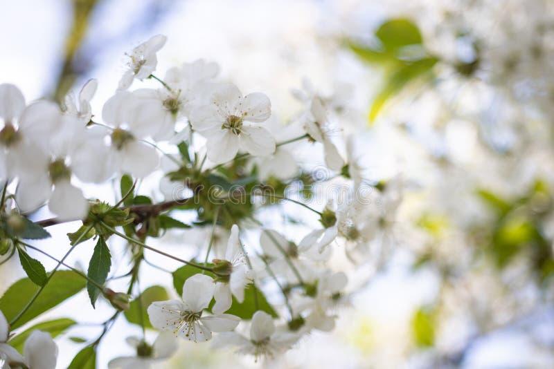 Vita Apple blommor på en suddig bakgrund av blomningträd royaltyfri bild
