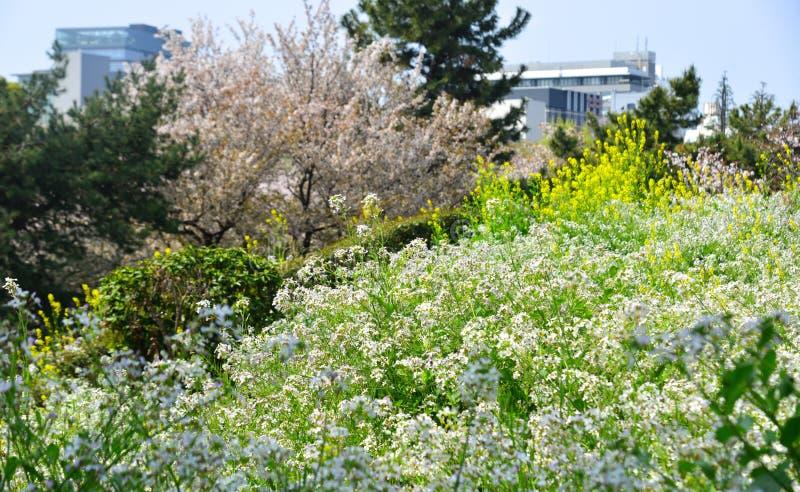 Vita aubretiablommor som blommar på, parkerar arkivbilder