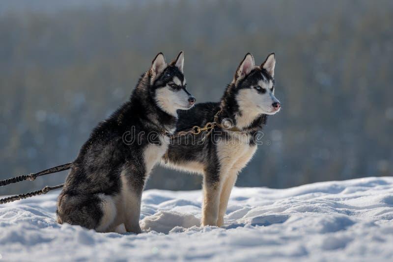 Vita autentica dei cuccioli dalla fossa di scolo del husky siberiano fotografia stock libera da diritti