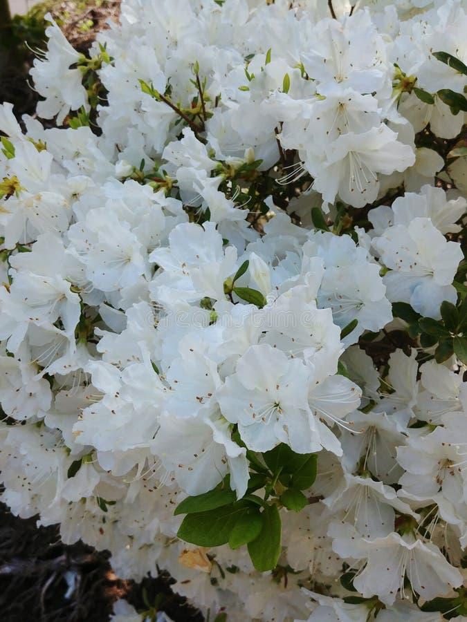 Vita Azalea Blossoms på busken arkivbild