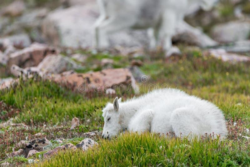 Vita Big Hornfår - Rocky Mountain Goat arkivbilder