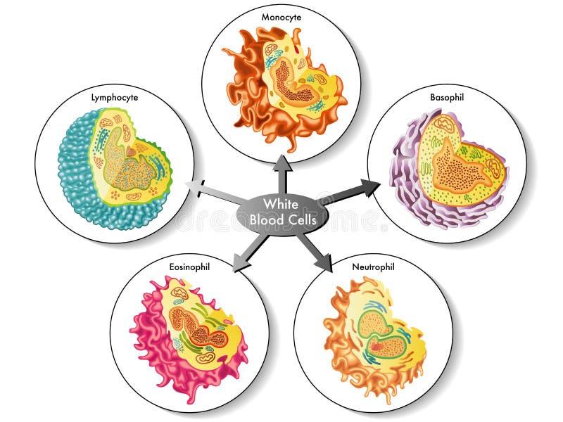 vita blodceller royaltyfri illustrationer