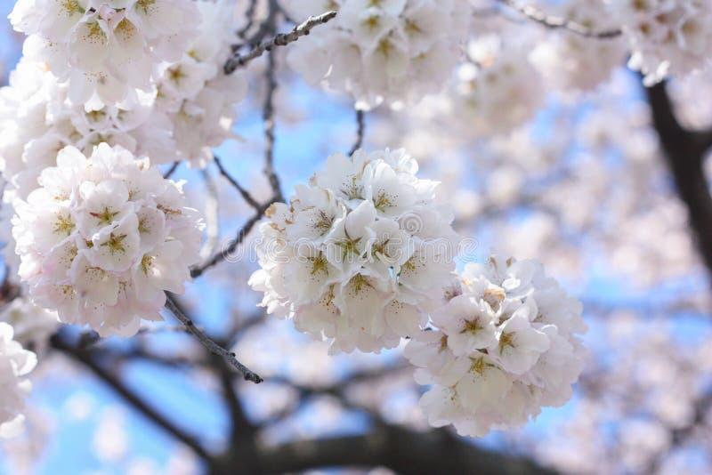 Vita blomblommor på ett träd royaltyfria bilder