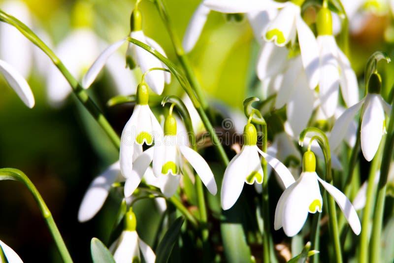 Vita blommande snödroppeGalanthus nivalis meddelar våren royaltyfri foto