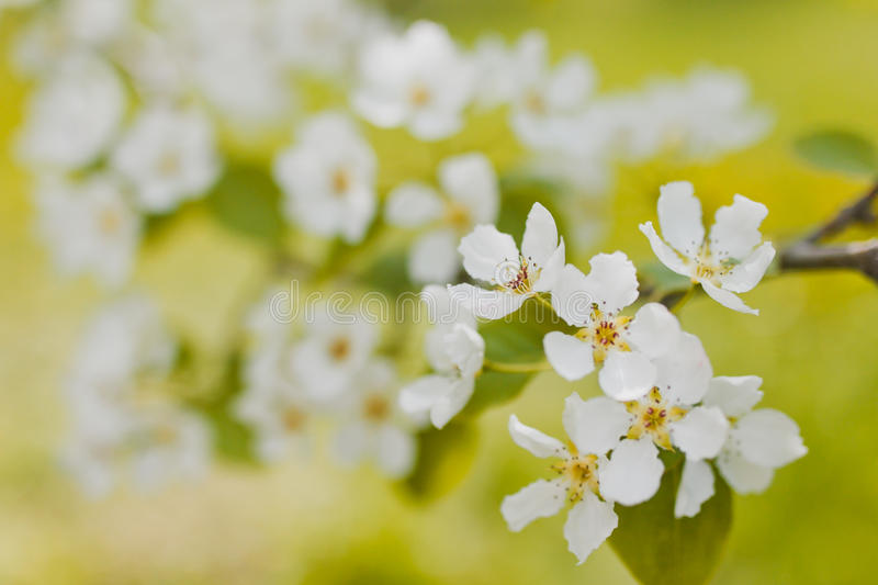 vita blommas blommor royaltyfria foton