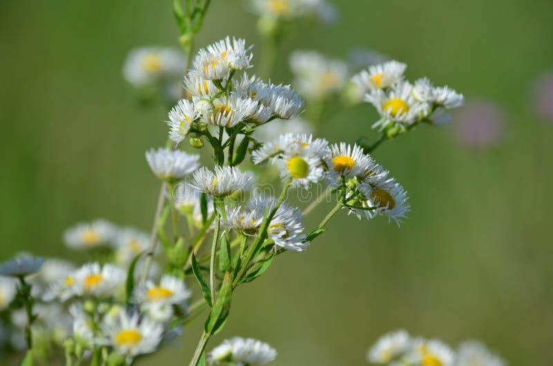 Vita blommor av blå fleabane fotografering för bildbyråer