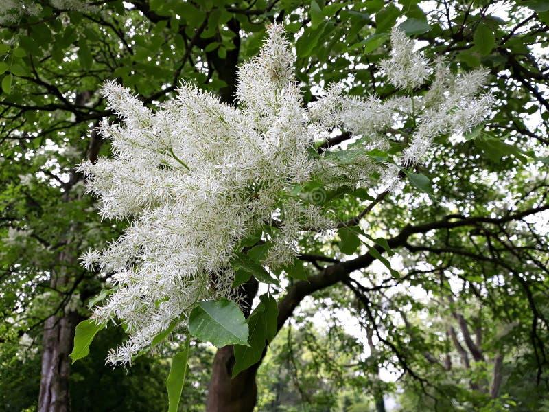 Vita blommor av chionanthusen Virginicus för fransträd royaltyfri fotografi