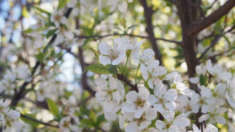 Vita blommor av de körsbärsröda blomningarna på bild för solig dag för vår en bred arkivbild
