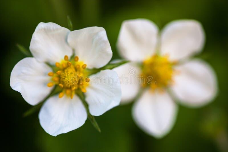 Vita blommor av den lösa jordgubben (Fragariavescaen) arkivbild