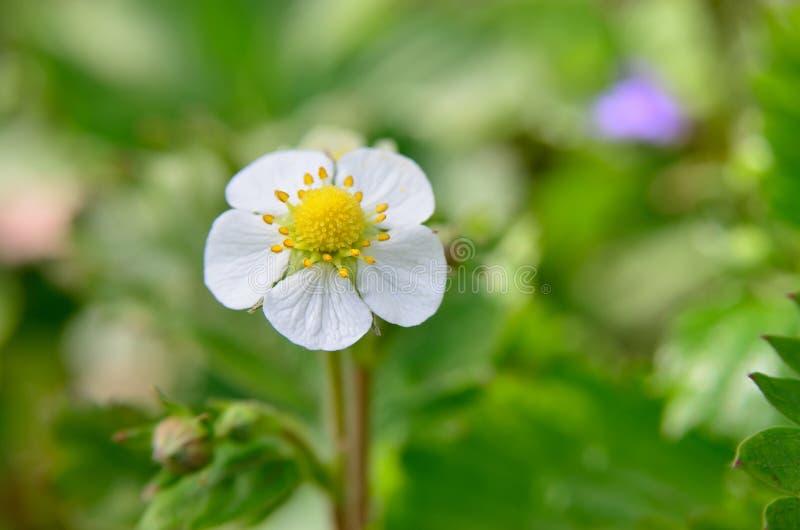 Vita blommor av den lösa jordgubben i skogen i sommar royaltyfri foto