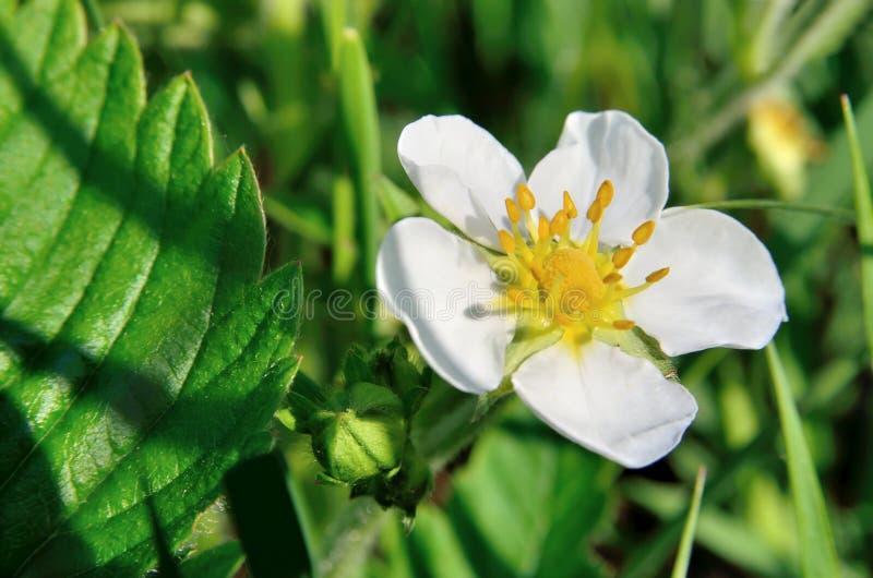 Vita blommor av den lösa jordgubben i skogen i sommar royaltyfri bild